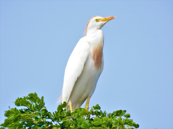 Cattle Egret in Jamaica.