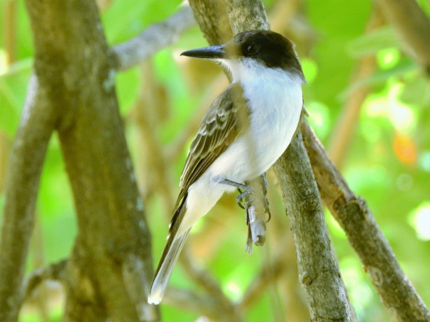 Loggerhead Kingbird in Jamaica.
