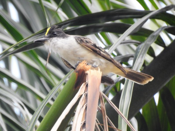 Loggerhead Kingbird showing yellow crown patch.