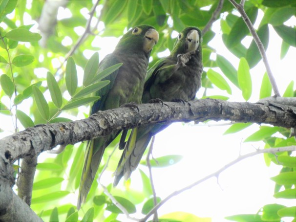 Olive-throated Parakeets in Jamaica.