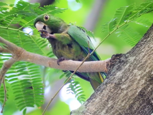 Olive-throated Parakeet in Jamaica.