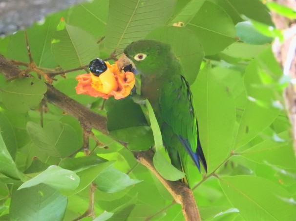 Olive-throated Parakeet eating an ackee in Jamaica.