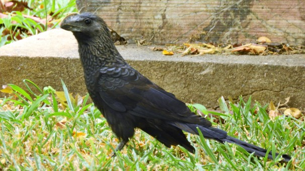 Smooth-billed Ani in Jamaica.