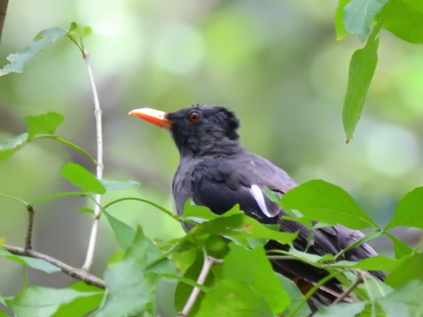 White-chinned Thrush in Jamaica.
