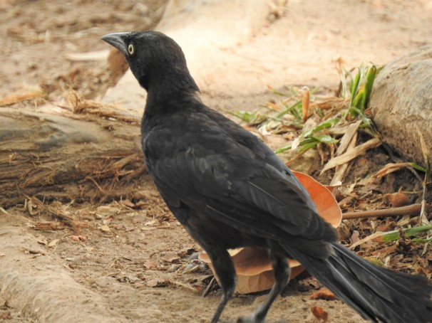 Greater Antllean Grackle in Jamaica.