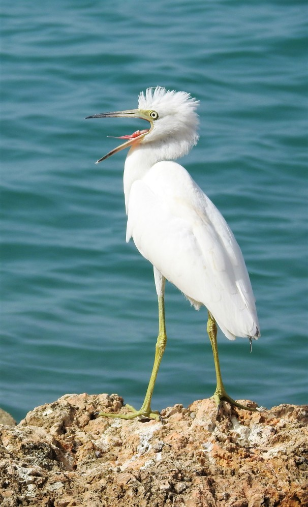 Juvenile Little Blue Heron in Jamaica.
