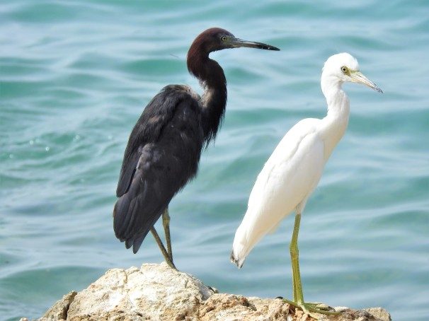 Little Blue Herons in Jamaica.