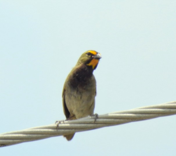 Male Yellow-faced Grassquit in Jamaica.