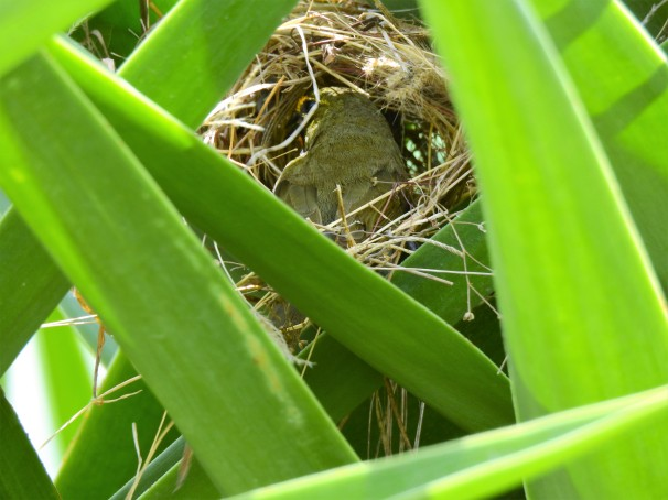 A male Yellow-faced Grassquit in a nest in Jamaica.