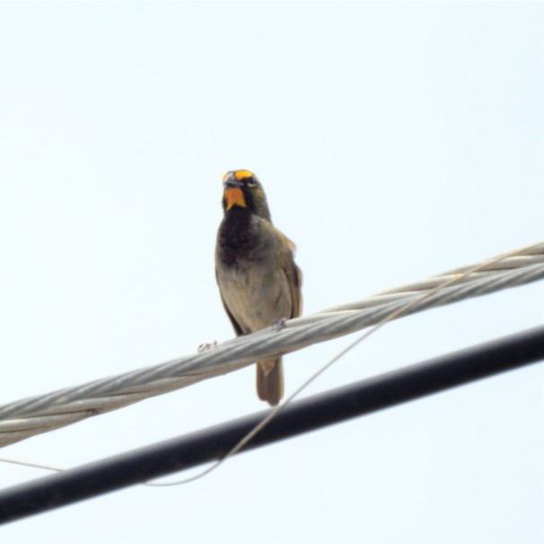 A male Yellow-faced Grassquit in Jamaica.