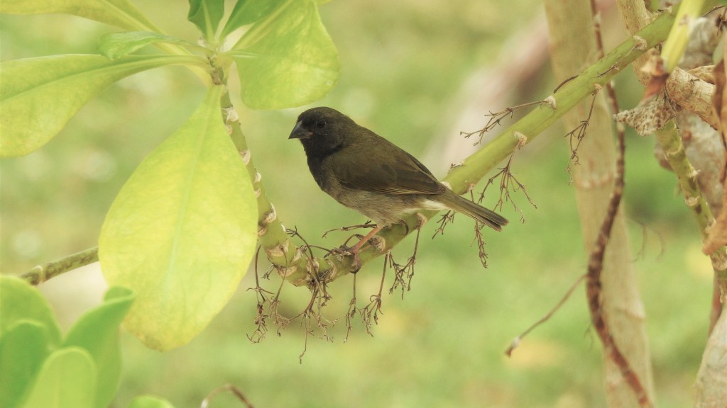 Black-faced Grassquit in Antigua Barbuda