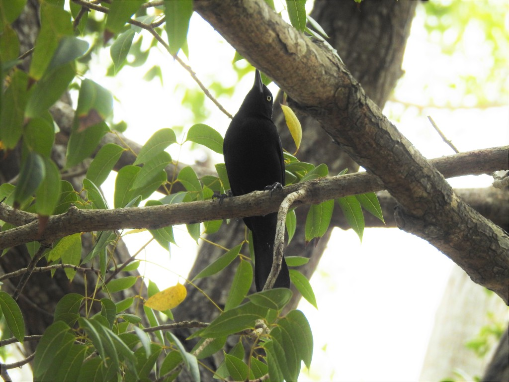 Carib Grackle in a tree in Barbados