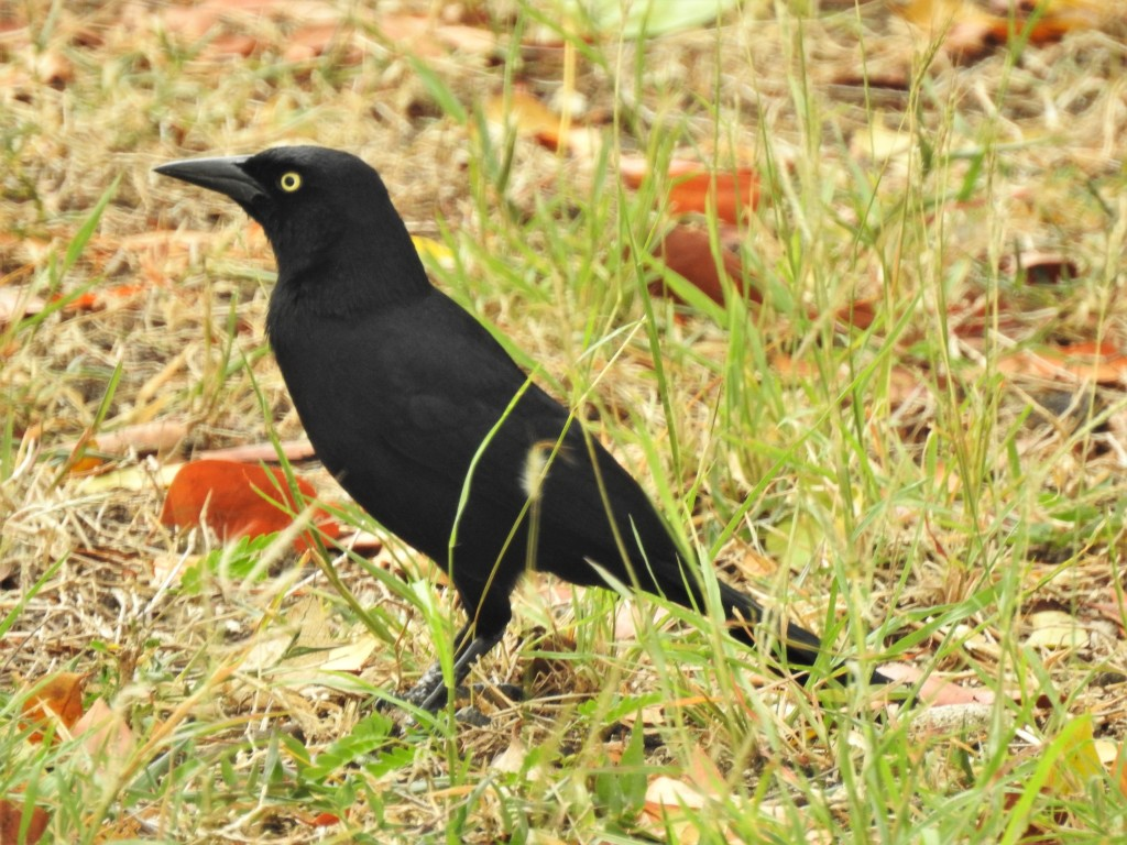 Carib Grackle in Barbados