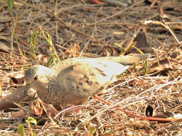 Common Ground Dove in Barbados