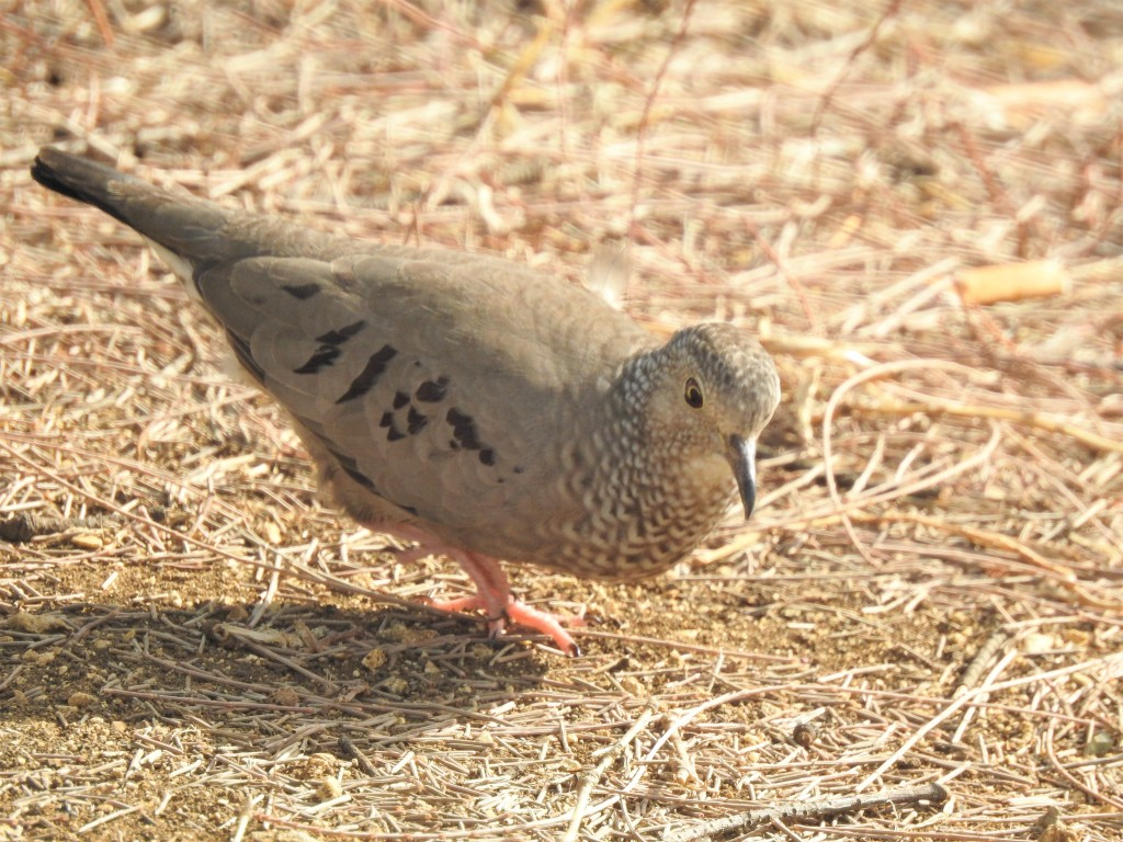 Common Ground Dove in Barbados
