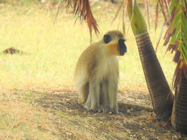 A monkey in Bathsheba, Barbados