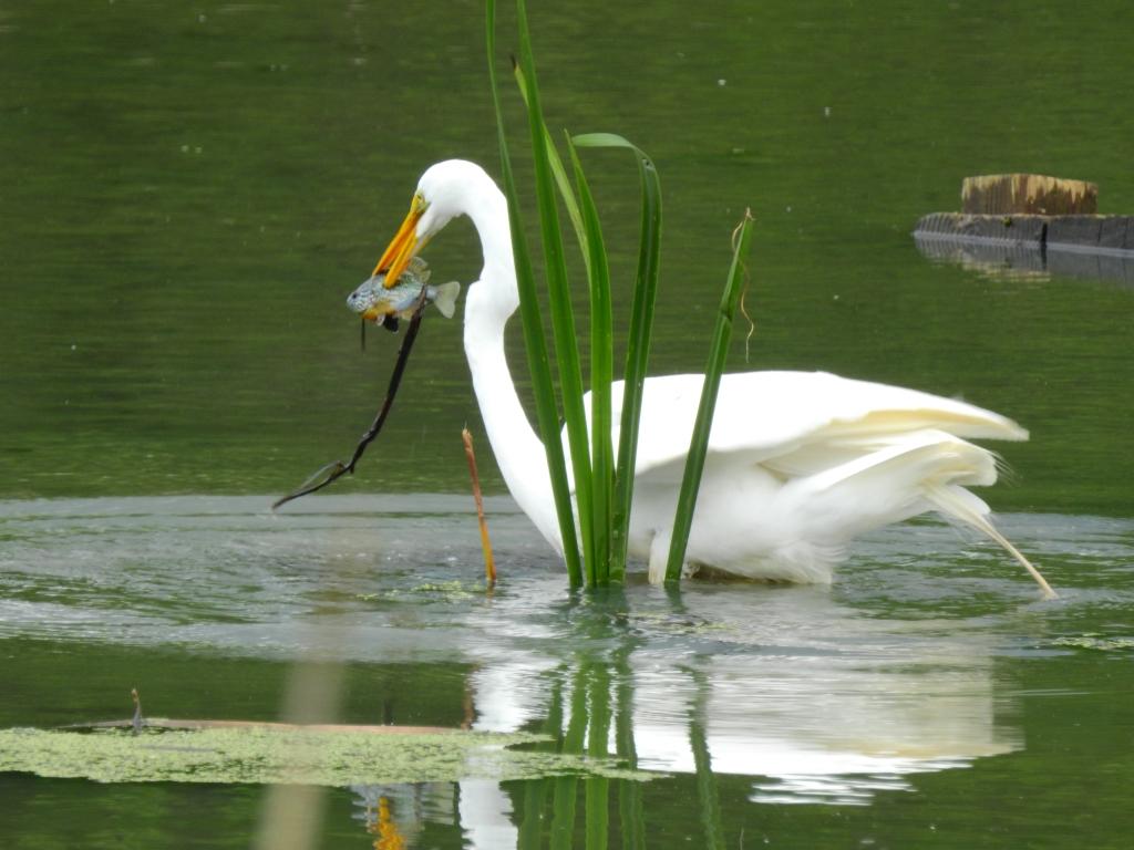 Great Egret fishing in a lake in Delaware.