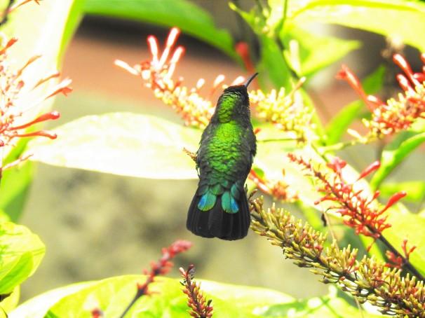 Green-throated Carib in St. Lucia