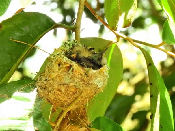 Purple-throated Carib nestlings in St. Lucia.