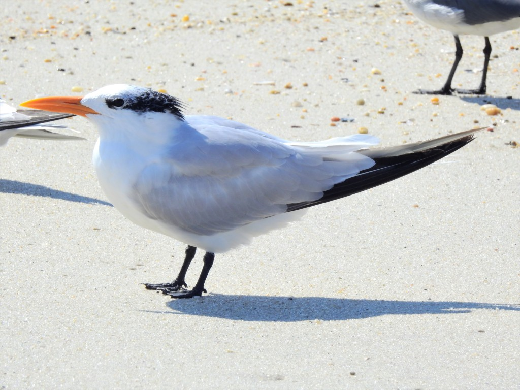 Royal Tern in New Jersey