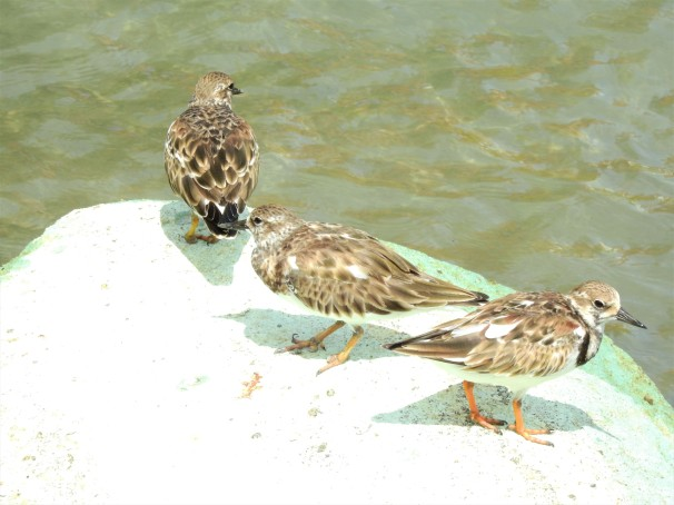 Ruddy Turnstones in Antigua an Barbuda