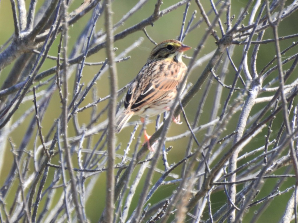 Savannah Sparrow in New Jersey