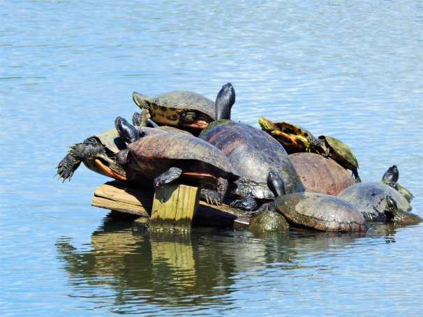 Turtles sunbathing in a pond in Pennsylvania