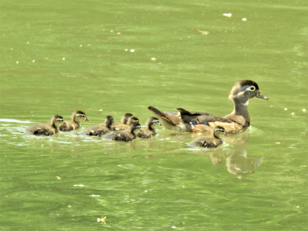 Female Wood Duck with ducklings in Delaware.