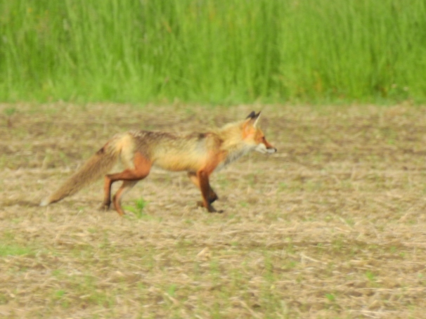 Red Fox in Ontario