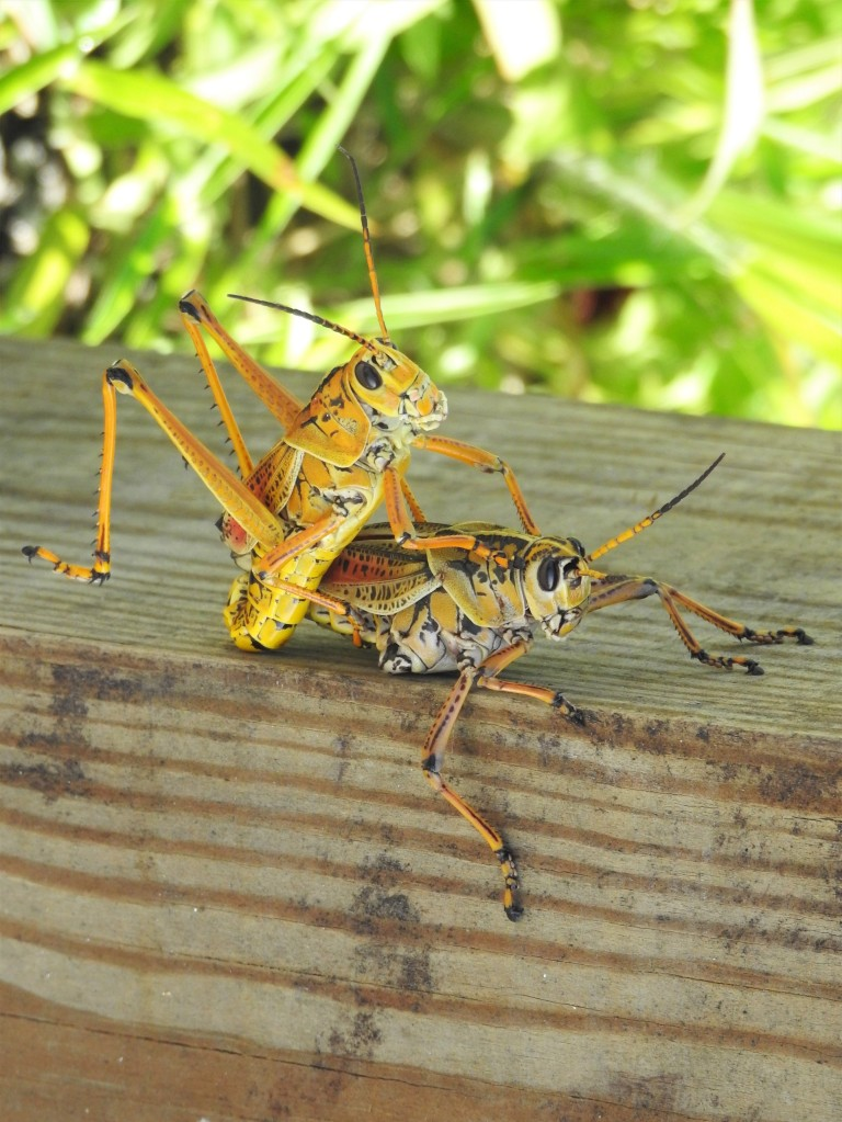 Eastern Lubber Grasshoppers mating in Florida