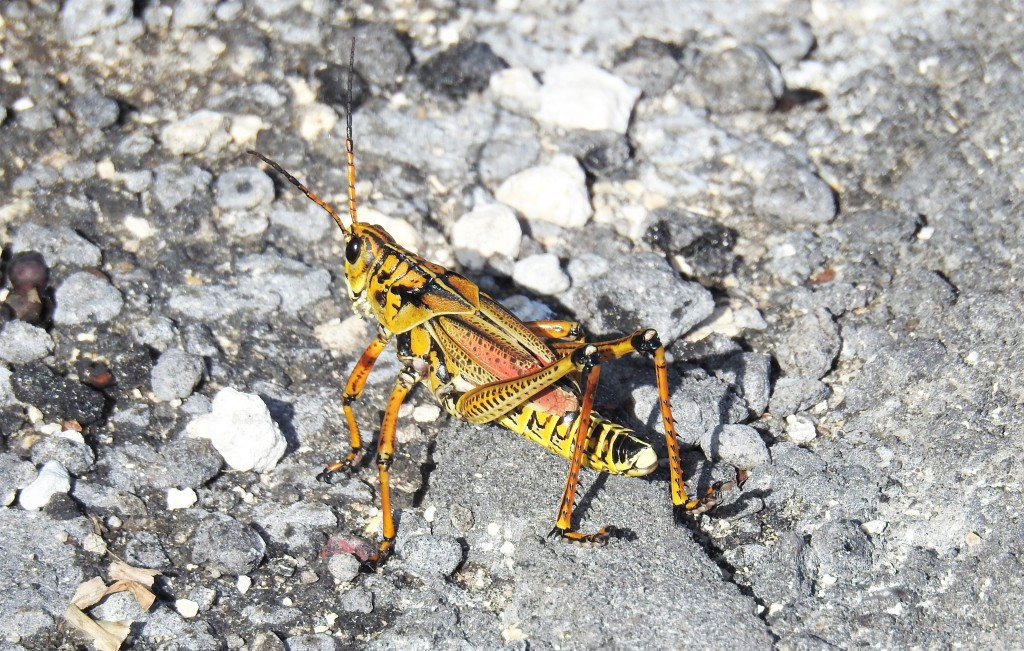 Eastern Lubber Lubber Grasshopper in Florida
