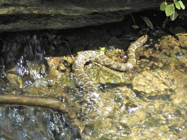 Northern Water Snake in a river in Ontario.